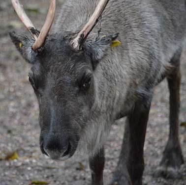 webdzg_reindeer2
