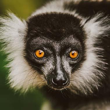 promosimonbrettell_lemur_coverphoto