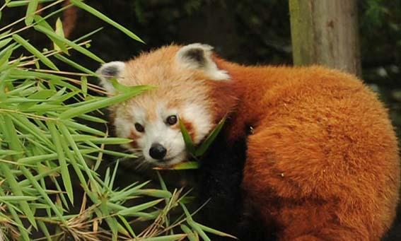 red_pandafood_1