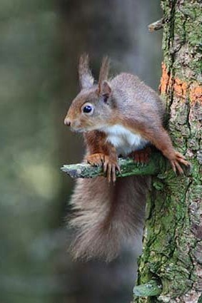 red_squirrel_wb_0