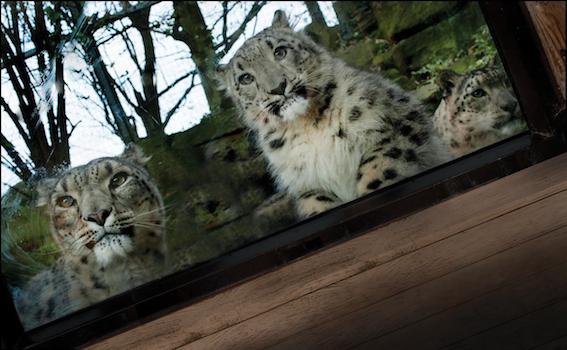 retouched_snow_leopards