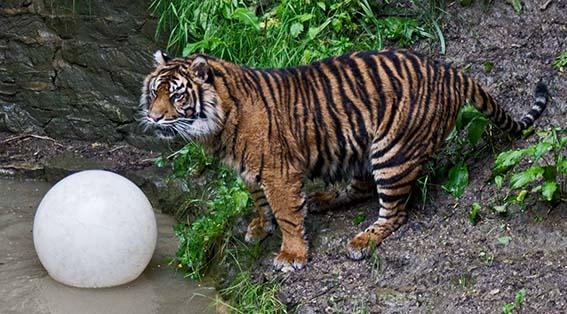 lionball1