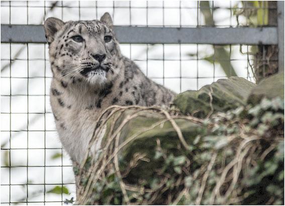 snow_leopard_2015_e_makalu