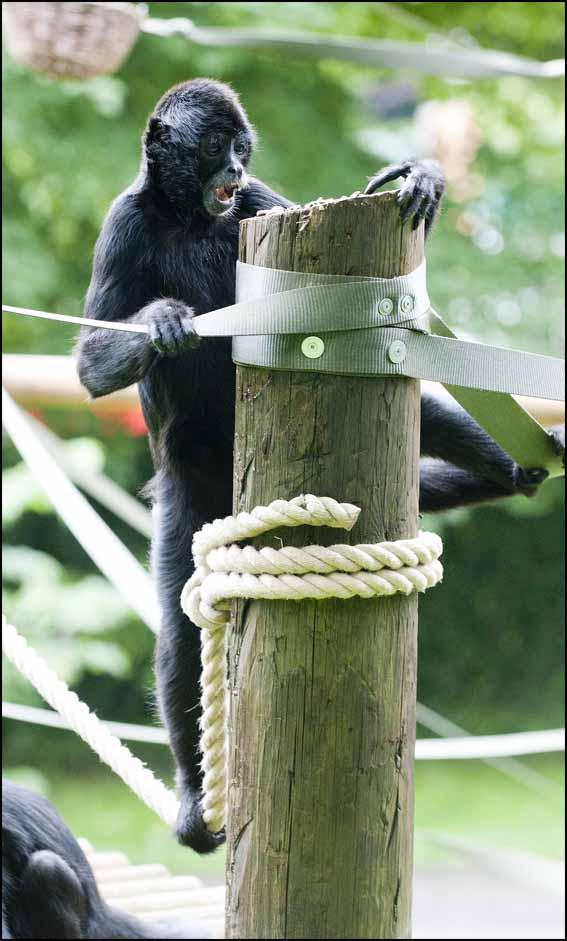spidermonkey_rope3_web