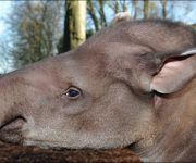 Tapir (Brazilian)