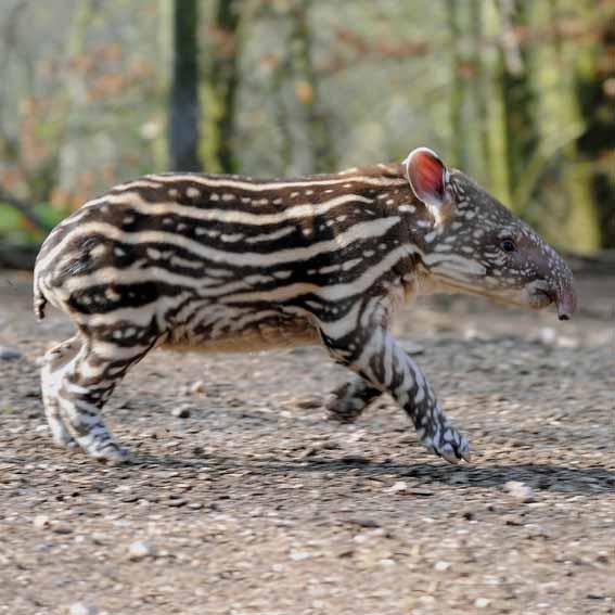 tapir-lost-spots-2-web