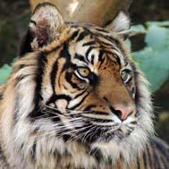 tiger_0_0