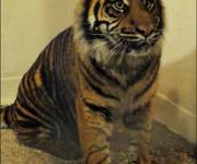 Tiger twosome settling in