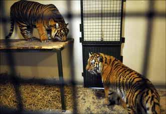 tigers24web