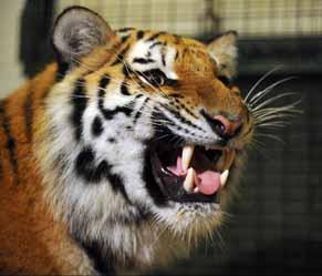 tigers25-web