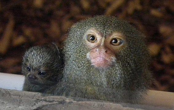 vickie_fellowes_pygmy_marmosets_2