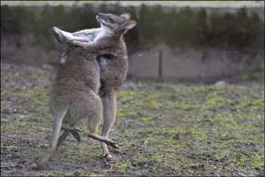 wallaby_fight2-web