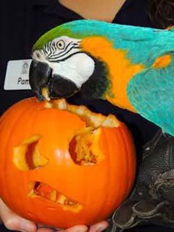 web_meerkat_pumpkin1_1