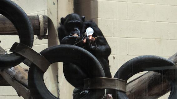 web_chimps_spag_bol
