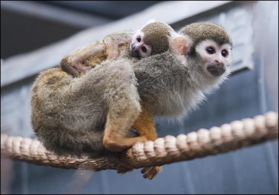 web_dzg_baby_squirell_monkey_1_2