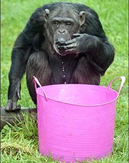 web_dzg_chimp_enrichment1edit