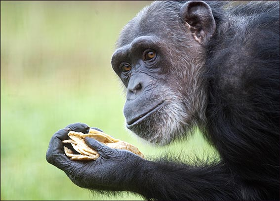 web_dzg_chimp_pancake_day_6