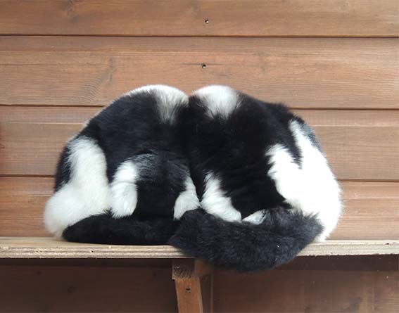 web_dzg_lemur_tail