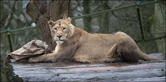 web_dzg_lions_enrichment_7