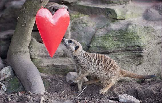 web_dzg_meerkat_heart1