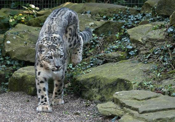web_dzg_snow_leopard_nanga_1_2