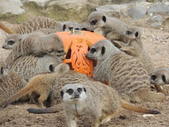 web_meerkat_pumpkin1