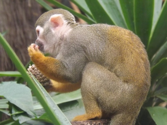 web_monkey_pine_cone