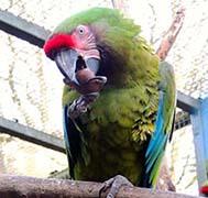 web_parrot_chestnut2_1