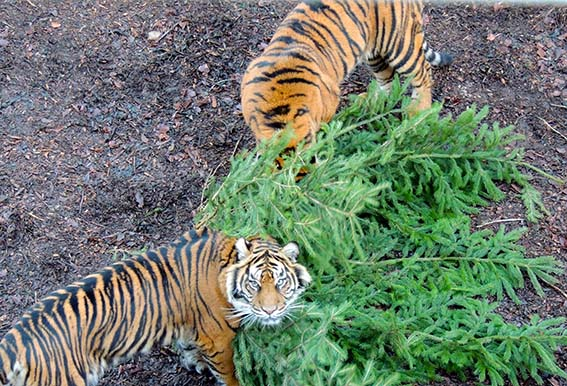 web_tigers_tree_0