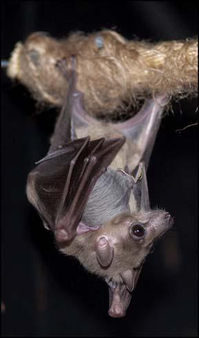 webdzg_baby_bats_1
