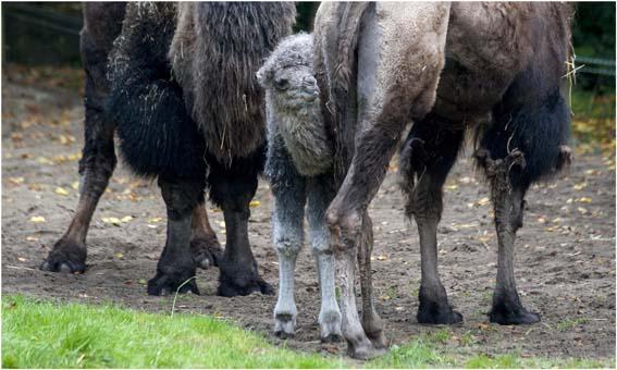 webdzg_baby_camel_13