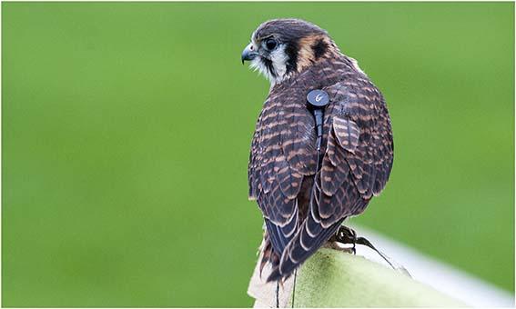 webdzg_bird_transmitter_2
