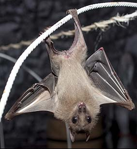 webdzg_castlcreatures_bats_5