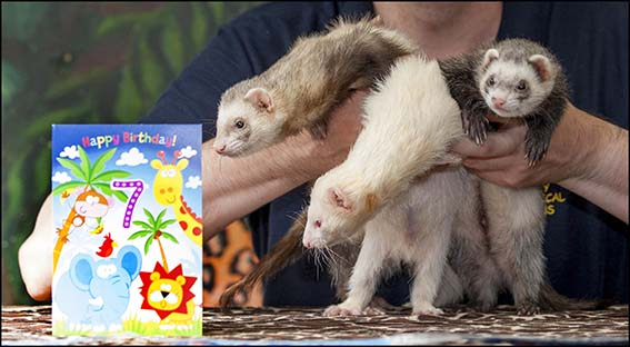 webdzg_ferret_birthday_2_0