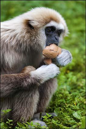 webdzg_gibbon_eggs_1