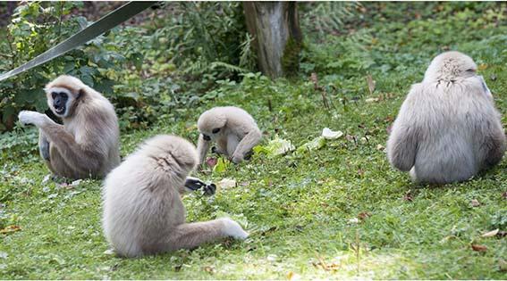 webdzg_gibbon_family_2-1