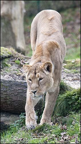webdzg_lion_7_girky