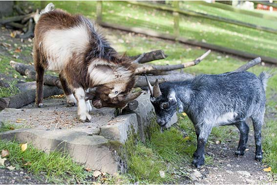 webdzg_new_goats_4