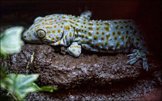 webdzg_tokay_geckos_2