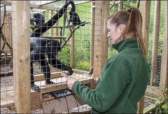 webdzg_weighing_animals_spidermonk_2_0