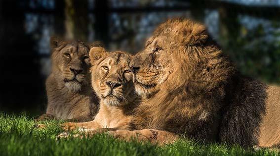 webdzg_adopt_lions_9