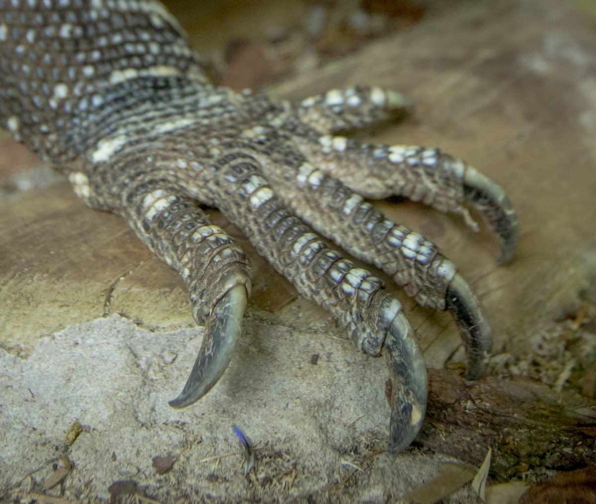 Monitor Lizard White Throated Dudley Zoological Gardens